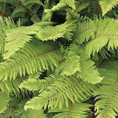 Ferns Suitable for Dry Shade - Polystichum setiferum 'Herrenhausen'.