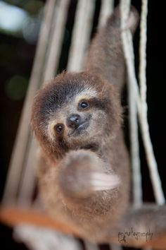 Baby sloth reaching out to camera is part of Cute sloth - Baby Sloth Pictures, Cute Animal Pictures, Sloth Photos, Cute Little Animals, Cute Funny Animals, Cute Baby Sloths, Baby Otters, Tier Fotos, Animals Beautiful