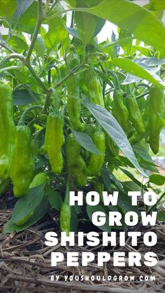 Everyone Loves Growing Shishito Peppers Shishito pepper plants are compact and super productive.Shishito pepper plants are compact and super productive. Indoor Vegetable Gardening, Organic Gardening Tips, Container Gardening, Gardening Blogs, Gardening Magazines, Herb Gardening, Gardening Vegetables, Urban Gardening, Organic Vegetables