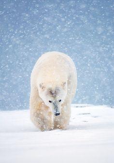 Polar Express - A polar bear in a snowstorm, Arctic National Wildlife Refuge, USA.