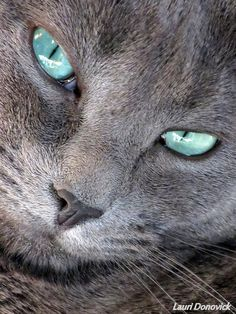 Ojos así... me encantan los gatos grises!!