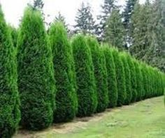 Medora Hedge- 10' tall 3' spread. Needs well drained soil and full sun