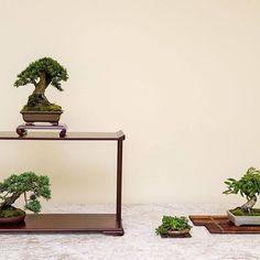 Shohin display at the Fuchi Bonsai exhibition.  #盆景 #盆栽 #분재 #bonsai #shohin #shohinbonsai #japanese #art #tree #nature #life #feel #albek #mortenalbek  #tokonoma #toko #床 #床の間 #shohineurope www.shohin-europe.com www.shohinblog.com