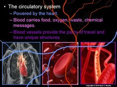 Heart and Lungs, Circulatory and Respiratory System Lesson Bundle from Science from Murf on TeachersNotebook.com -  (2600 pages)  - This is a three part 2,600 slide truly interactive PowerPoint roadmap with built-in class notes (red slides), built-in hands-on activities with instructions and questions, and much more.