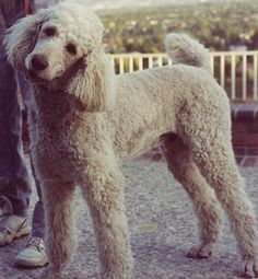I like the brown poodles. I've grown up with toy poodles, and would go with a standard one if I were to choose this dog