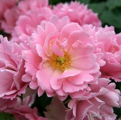 Rosa 'Sommerwind' Rosa x floribunda