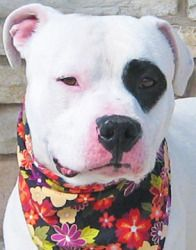 PETEY is an adoptable Pit Bull Terrier Dog in Reno, NV. Just like Petey from the little Rascal's I am a lover. I would enjoying playing and going on walks. I love my toys and would enjoy having a whol...