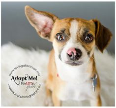 Freddie~ Jack Russell Terrier Mix • Young • Male • Small Loving All Animals, Inc. Palm Desert, CA