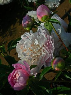peonies in bloom got mine planted just waiting