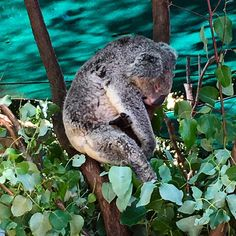 Sometimes it just gets too hard. This beautiful little guy was sleeping at Currumbin Animal Sanctuary.