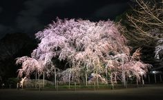 Rikugien Park weeping cherry trees and garden illumination