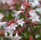 A long-flowering shrub for a mixed border