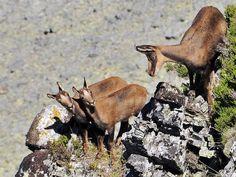 cabras en Picos de Europa