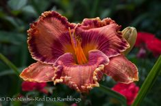 H. 'Wild Apple Autumn' (Trimmer 2010) was one of my absolute favorites last summer. Such gorgeous color. Photo is not enhanced.