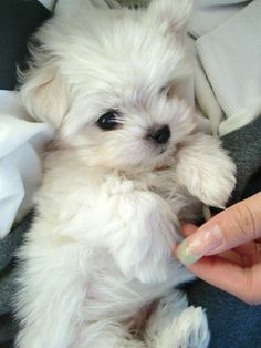 i want one so bad.. but i've been banned by one of my male friends :( .. he has a crazy theory about women & lil dogs