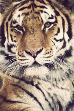 Tiger. Fierce tiger.