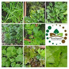 Te compartimos el avance de nuestra huerta casera luego de casi 2 meses de sembrada.  Y la tuya como va? TerreOrganics 100% orgánico No Tóxico  De la huerta a la mesa!!!🌎 Pienso y actúo en verde🌎👏