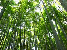 Hokokuji temple; The Bomboo forest