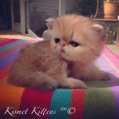Teacup  Kittens For Sale at #KismetKittens To Reserve:  Web:  www.KismetKittens.com Text:  813-409-8418 Email: Persiankittyinfo@aol.com  #teacupkittens, #persiankittensforsale, #dollface, #kittensflorida, #whitedollface, #shadedgolden, #chinchilla, teacupkittensforsale, #catbreeders, #persiancats kittens, #cats, #cutekittens, #kismetpersiankittens