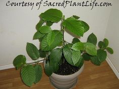 LIVE KRATOM PLANTS - READY FOR SHIPMENT NOW! This fast-growing tree produces large leaves even as a seedling, making this plant a joy to grow. This is the covet