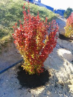 Orange Rocket Barberry - Spring 2015