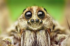 How many eyes do spiders have? Why do they need so many eyes? What do spider eyes look like up-close? This article discusses the eyes and vision of a number of spider varieties. Spider Face, Wolf Spider, Spider Spider, Spider Bites, Spiders And Snakes, Foto Macro, Spider Silk, Tarot, Dream Symbols