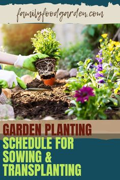 When you are planting different produce in your garden it is important to keep track of the seasons, when to buy seed, etc. Family Food & Garden offers up a 23 page garden planner which is ideal for beginners and intermediate gardeners. We take you step by step on how to plan your seeding, planting, sowing and transplanting schedule so that you can stay on top of what your crops need. Our checklist helps you stay on track. Download here… #gardenplanting #gardensowing #gardentransplanting Healthy Fruits And Vegetables, Buy Seeds, Garden Planner, Family Meals, Schedule, Herbs, Backyard, Planting, Track