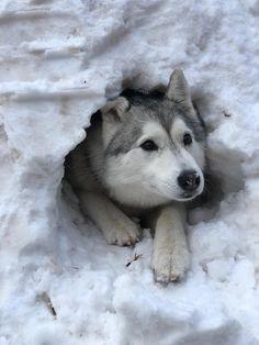 Wonderful All About The Siberian Husky Ideas. Prodigious All About The Siberian Husky Ideas. Siberian Husky Dog, Husky Puppy, Baby Huskys, Husky Colors, Pet Dogs, Dog Cat, Husky Breeds, Cute Baby Animals, Dog Life