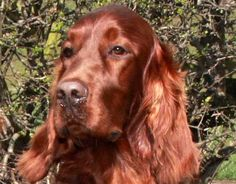 They have the most beautiful mahogany coat. Red Setter Dog, Red And White Setter, Irish Setter Dogs, Gordon Setter, Red Dog, Dog Park, Mans Best Friend, Beautiful Creatures, Doggies