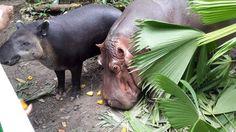 Honduras: Decomisan animales en el parque San Ignacio en Omoa  El vocero del Ministerio Público (MP) Elvis Guzmán informó que en el 2011 recibió una denuncia sobre el manejo ilegal del parque y las condiciones inadecuadas en las que se contraban. El lugar tiene decenas de animales exóticos  entre ellos leones, búfalos y monos que serían reubicados en otro centro natural.