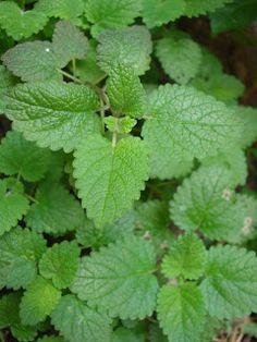 Jardines que Curan, Colombia: Plantas Medicinales de Uso Tradicional