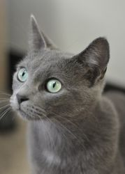 Natasha~lovely! is an adoptable Russian Blue Cat in West Bloomfield, MI. This is Natasha, a beautiful all grey cat with blazing green eyes.  Natasha LOVES to play and has an awesome amount of energy! ...