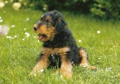 Airedale Terrier Puppies   Airedale Terrier Puppies Pictures Information - Boston Terriers ...