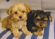 """Awesome """"Yorkshire terrier puppies"""" detail is readily available on our web pages. Have a look and you wont be sorry you did. Yorkie Poo Puppies, Cute Dogs And Puppies, I Love Dogs, Doggies, Cutest Dogs, Animals And Pets, Baby Animals, Cute Animals, Yorky"""