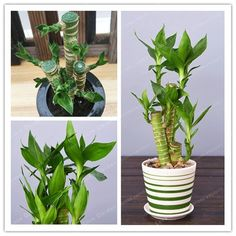 100Pcs Lotus Lucky Bamboo Bonsai Potted Balcony Beautiful Home Garden Household #Mesprout