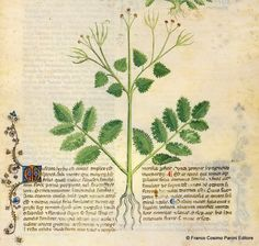 """""""Il becco di gru è un'erba che produce i frutti simili ad aghi. Non ha odore, ma fetore. Il suo succo fatto bere giova ai sofferenti di calcoli e contro la stranguria e la disuria. Le sue foglie poste sopra le ferite degli stinchi mirabilmente mondificano, cicatrizzano e sanano, se spesso o due volte al giorno vengono rinnovate: mattina e sera."""" http://www.foliamagazine.it/wp-content/uploads/2014/05/Becco-di-gru.jpg"""