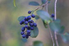Blu Berries / James Groce