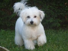 Standard Du Coton : 7 Cute Coton de Tulear Puppy Cut | Biological ...