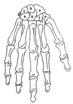 skeleton labeled homeschool Pinterest Skeletal