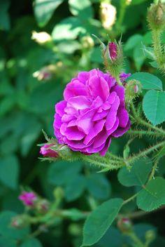 Törnrosas Trädgård: Rosor