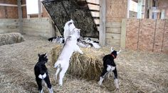 #goatvet likes this short video of kids playing