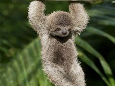 No creature in the animal kingdom is as chill as the tree-dwelling sloth. They spend their days hanging from branches, munching on leaves, sleeping and even going for the occasional swim. What's not to love?