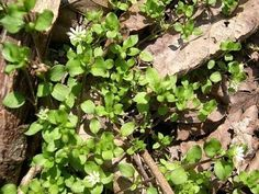 How To Kill Chickweed: Best Way To Kill Chickweed - Gardening Know How