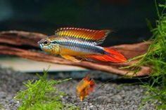 Offering Apistogramma cichlids for sale daily. Apistogramma cichlids are also popular amongst aquarium hobbyists who fancy dward cichlids. Live Aquarium Fish, Freshwater Aquarium Fish, Saltwater Aquarium, Cichlid Aquarium, Nature Aquarium, Aquascaping, Beautiful Tropical Fish, Beautiful Fish, Aquariums