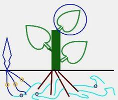 Monotropa flora: ghost pipe