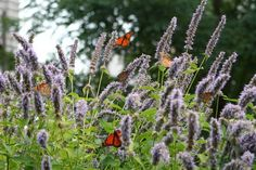 Monarchs feeding on hyssop blossoms. Blossoms, Dandelion, Creatures, Seasons, Photo And Video, Flowers, Plants, Dandelions, Seasons Of The Year