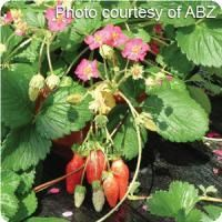 Berri Basket Rose Strawberry. A Ball Seed Exclusive selection. Available as Ball Premier Line® pelleted seed. Well-suited to baskets, the everbearing, compact and bushy plants bear large, deep red, full-flavored berries until first frost. Hardy to USDA Zone 5. 75-85 days to maturity.    Formerly Pretty in Rose. Deep rose, semi-double flowers; mid-green leaves.