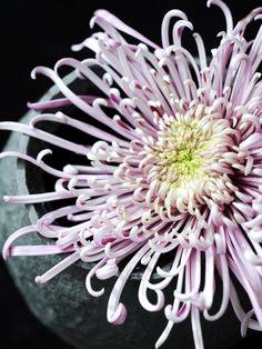 Faszinierende Chrysanthemenblüte. #tollwasblumenmachen