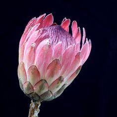 Photo about Protea flower starting to bloom. Image of flower, florist, green - 70930496 Protea Art, Protea Flower, Free Printable Art, Garden Shrubs, Botanical Art, Royalty Free Images, Flower Art, King Protea, Stock Photos