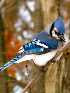 Look Of The Blue Jay by Debra Vatalaro with Pin-It-Button on FineArtAmerica
